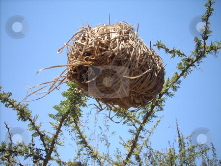 Birds Nest stock photo, Birds nest on a thin branch of a thorn bush by Rose Nthiwa