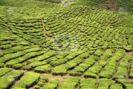 Tea plantation stock photo, Tea plants crop in plantation estate in Cameron Highlands Malaysia by Kheng Guan Toh
