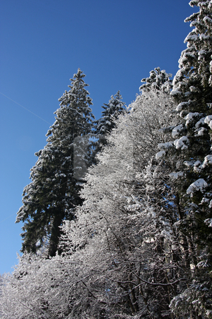 Snow covered trees stock photo, Snow covered pine trees outdoors in winter by Kheng Guan Toh