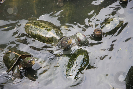 Tortoises stock photo, Several tortoises swimming in a pond by Kheng Guan Toh