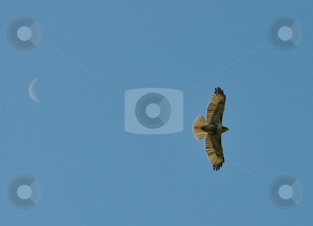 Falcon with Moon stock photo, Falconflying with moon in background by Will Burwell