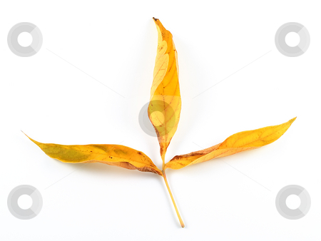 3 leaf cross stock photo, Three yellow autumn leaves connected together by a branch or a twig forming a cross. by J. R.