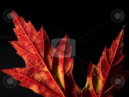 Maple leaf on black background stock photo, Part of a maple leaf on a black background by J. R.