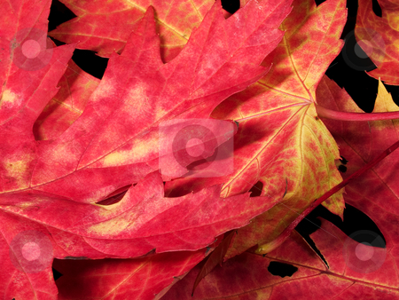 Red leaves in a pile stock photo, Red leaves in a pile. No background. by J. R.