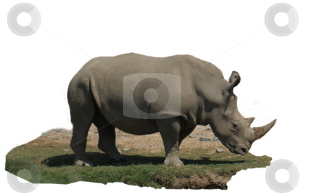 Rhinocerous Isolated stock photo, Rhinocerous and small section of turf isolated on white background by Joseph Ligori