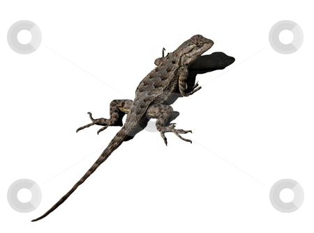 Lizard and Shadow stock photo, Spiny Lizard with shadow isolated on white background by Joseph Ligori