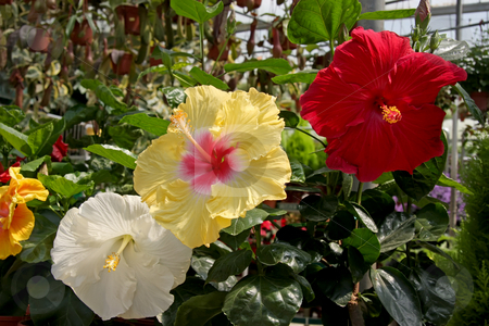 Hibiscus flowers stock photo, Multicolored hibisculs flowers in outdoor garden setting by Kheng Guan Toh
