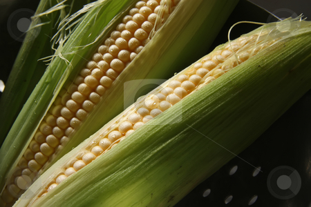Fresh ears of corn stock photo, Whole fresh raw corn on the cob with husk by Kheng Guan Toh