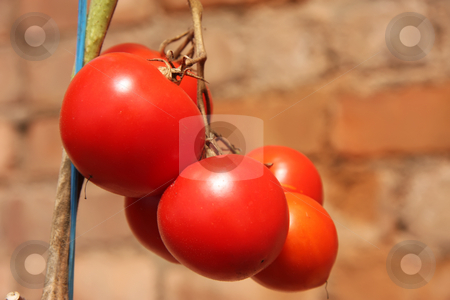 Vine tomatoes stock photo, Whole fresh red tomatoes ripening on the vine by Kheng Guan Toh