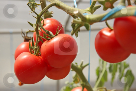 Greenhouse tomatoes stock photo, Whole fresh red tomatoes in greenhouse ripening on the vine by Kheng Guan Toh