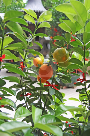 Oranges offering stock photo, Oranges in traditional chinse offering buddhist temple by Kheng Guan Toh