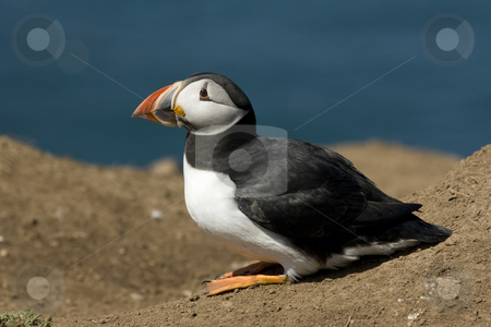 North Atlantic Puffin itting stock photo, North Atlantic Puffin sitting in the sun on the Island of Skomer off the Welsh coast by Chris Pole
