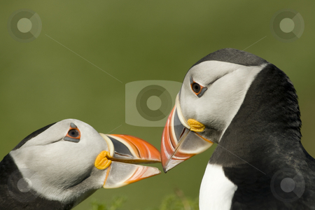 Pair of Puffins bonding stock photo, Two North Atlantic Puffins reinforcing their pair bond on the Island of Skomer off the Welsh coast by Chris Pole