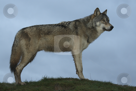 North American Wolf side view stock photo, Young North American Wolf viewed from the side standing on a hillock profiled against the sky by Chris Pole