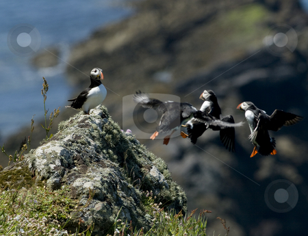 Three Puffins flying into a favourite perch stock photo, Three puffins flying into land and join another on a rocky outcrop on the Island of Skomer off the Welsh coast by Chris Pole