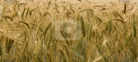 Close up of a field of wheat stock photo, A close up of a field of wheat nearly ready to harvest by Chris Pole