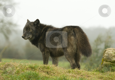 European Wolf looking back over shoulder stock photo, Young female European Wolf in winter coat looking back over her shoulder by Chris Pole