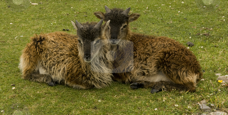 Pair of Soay lambs stock photo, Two Soay lambs on Holy Island off the Isle of Aran in Scotland. These hardy animals live on the shore line and are a very ancient breed by Chris Pole