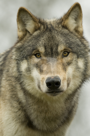 North American Wolf portrait stock photo, Young North American Wolf portrait. This is a young male in winter coat staring straight at the camera by Chris Pole