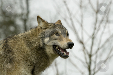 North American Wolf in profile stock photo, Young male European Wolf in profile, panting and staring into the distance by Chris Pole