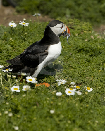 Puffin delivering sand eels to it's young stock photo, North Atlantic Puffin trotting across the vegetation to deliver sand eels to it's young on the Island of Skomer off the Welsh coast by Chris Pole