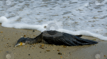 Dead cormorant on the strand line stock photo, A dead cormorant washed ashore on the beach by Chris Pole