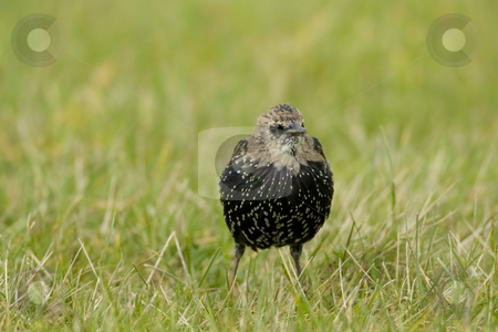 Juvenile Starling stock photo, Juvenile European Starling foraging in short grass by Chris Pole