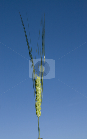 Single ear of wheat against blue sky stock photo, Single ear of wheat against blue sky left standing after harvest by Chris Pole