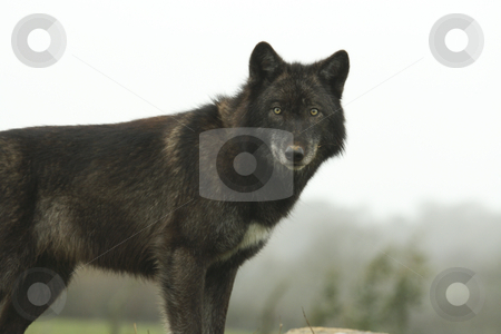 European Wolf stock photo, Young female European wolf side view looking at the camera by Chris Pole