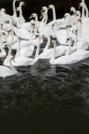 Swans stock photo, Group of swans in the river Thames by Lee Torrens
