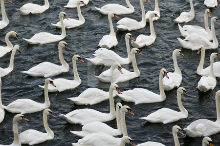 Group of Swans stock photo, The famous swans of Windsor (UK) by Lee Torrens