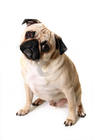 Confused Pug stock photo, Confused Pug puppy staring at the camera and isolated on white background. by Megan Lorenz