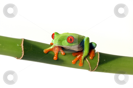 Curious Tree Frog stock photo, Red-Eyed Tree Frog staring at the camera and isolated on white background. by Megan Lorenz