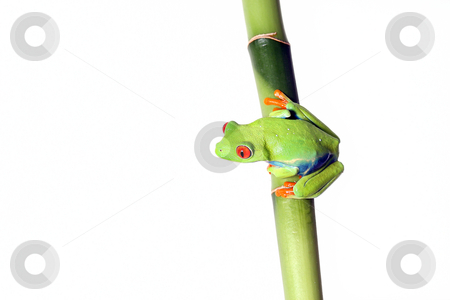 Red-Eyed Tree Frog stock photo, Bright Green Red-Eyed Tree Frog on Bamboo.  Isolated on white background. by Megan Lorenz