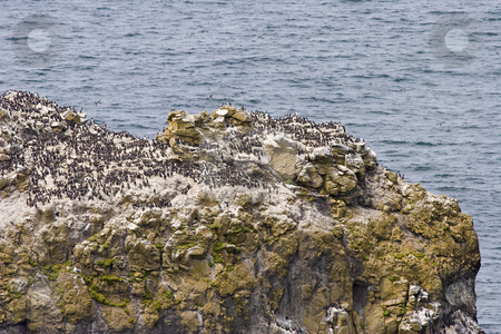Nesting Grounds stock photo, A colony of Common Murres has made this rocky seastack a nesting ground. by Mike Dawson