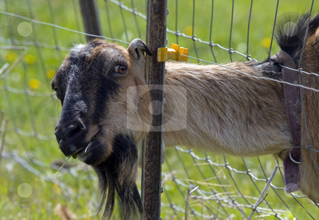 Busted stock photo, A Billy Goat caught with hsi head through the fence proving the grass really is greener on the other side of the fence. by Mike Dawson