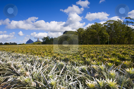 Pineapple Farm stock photo, A pineapple farm under the shadows of the Glasshouse Mountains of Queensland Australia by Mike Dawson
