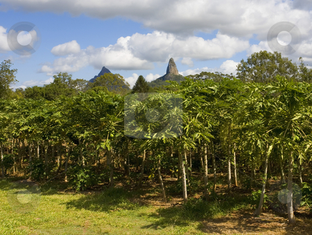 Queensland Papaya Farm stock photo, A papaya farm with Mt. Coonowrin of the Glasshouse Mountains. by Mike Dawson