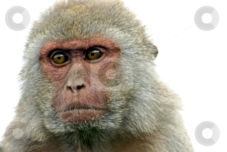 Monkey Portrait  stock photo, A monkey head shot with white background by Stefan Edwards