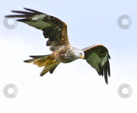 Red Kite stock photo, A Red Kite flying with plain sky behind by Stefan Edwards