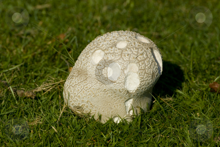 Fungus in the Grass stock photo, An autumn fungus in short cropped grass eaten in part by Chris Pole