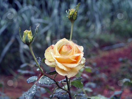Yellow rose in garden with rain drops stock photo, Rose and two buds in garden with water drops by Jeff Cleveland