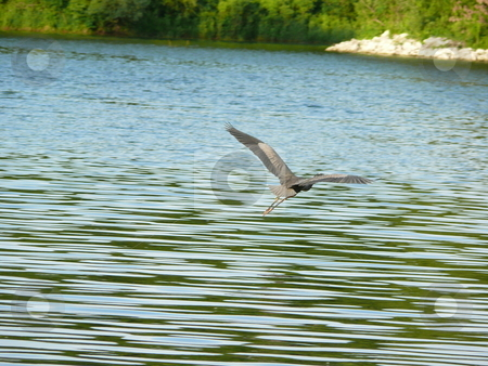 Crane flying across lake stock photo, A crane, as in the bird is flying across a beautiful lake that is relatively calm, and is heading toward the shore covered with trees and green plants on other side. by Deb Mohling