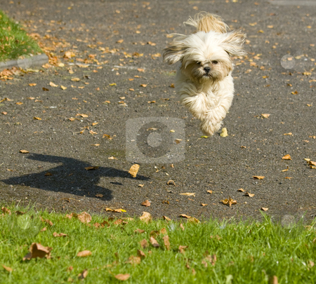 Small jumping dog stock photo, Young Shitzu bitch jumping for the sheer joy of it by Chris Pole