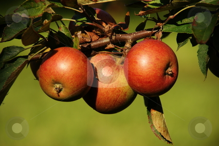 Tree Apples stock photo, Three red apples on a apple-tree with green background by David Nebesky