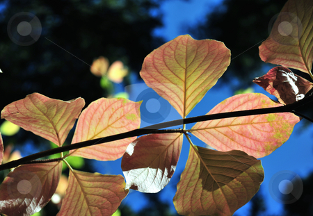 Colorful Autumn Dogwood Leaves stock photo, Fall colors starting to show in the Dogwood tree leaves. by Lynn Bendickson