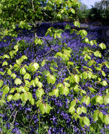 Spring leaves stock photo, Bright new Spring leaves with bluebells in the background by Paul Phillips