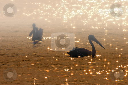 Pelican Sunrise stock photo, A pair of Australian Pelicans at Sunrise in a early morning mist by Mike Dawson