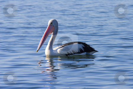 Australian Pelican Reflected stock photo, An Australian Pelican floating on calm waters off the coast near Caloundra. by Mike Dawson