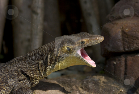 Lizard with open mouth stock photo, A water monitor opens wide for the camera. These critters can grow to be 9 feet long. by Mike Dawson